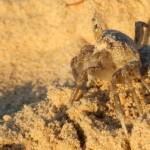 סרטן שמנמן המטייל החוף בשמורת ניצנים - צילום: אפי אליאן