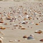 צדפים שנשטפו על חוף הים בשמורת ניצנים - צילום: אפי אליאן