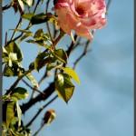 פריחת ורד בגן וואהל לוורדים בירושלים - צילום: אפי אליאן
