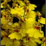 פריחה של צמח מזן פילרגוניום בפארק אוטופיה