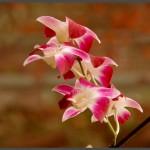 פרחי פילרגוניום באוטופיה