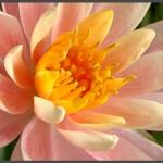פרח ברומלייה