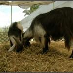 עיזים שונים הגדלים בגן הבוטאני