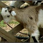 עז צעירה בגן הבונטי באוטופיה