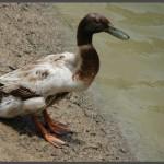 ברווז בבריכת הגידול באוטופיה