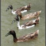 רביעיית ברווזים בפינת ההאכלה באוטופיה
