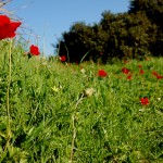 פריחה אדומה (כלניות) בגבעת סמארה שבשמורת נחל אלכסנדר