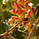פריחה של עצי פרי בשמורת הסטף