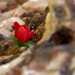 פרח אדמדם באחד מ-73 סלעי הזכרון