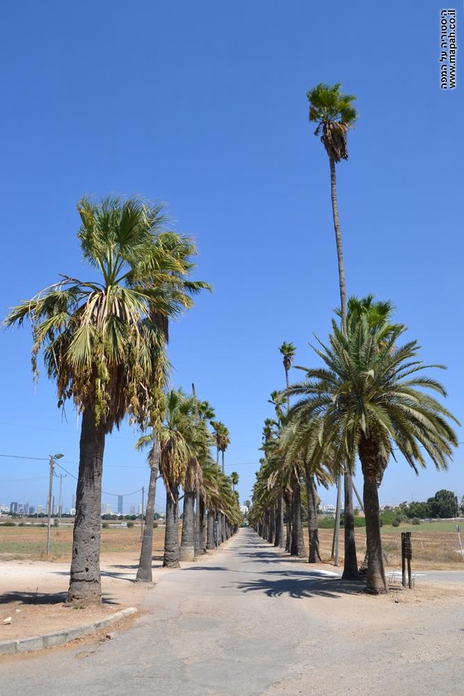 """שדרת עצי הדקל בבי""""ס מקוה ישראל"""
