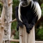 גונון ירוק בפארק הקופים יער בן שמן
