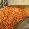ערימת התפוזים באולם האריזה בפרדס מינקוב