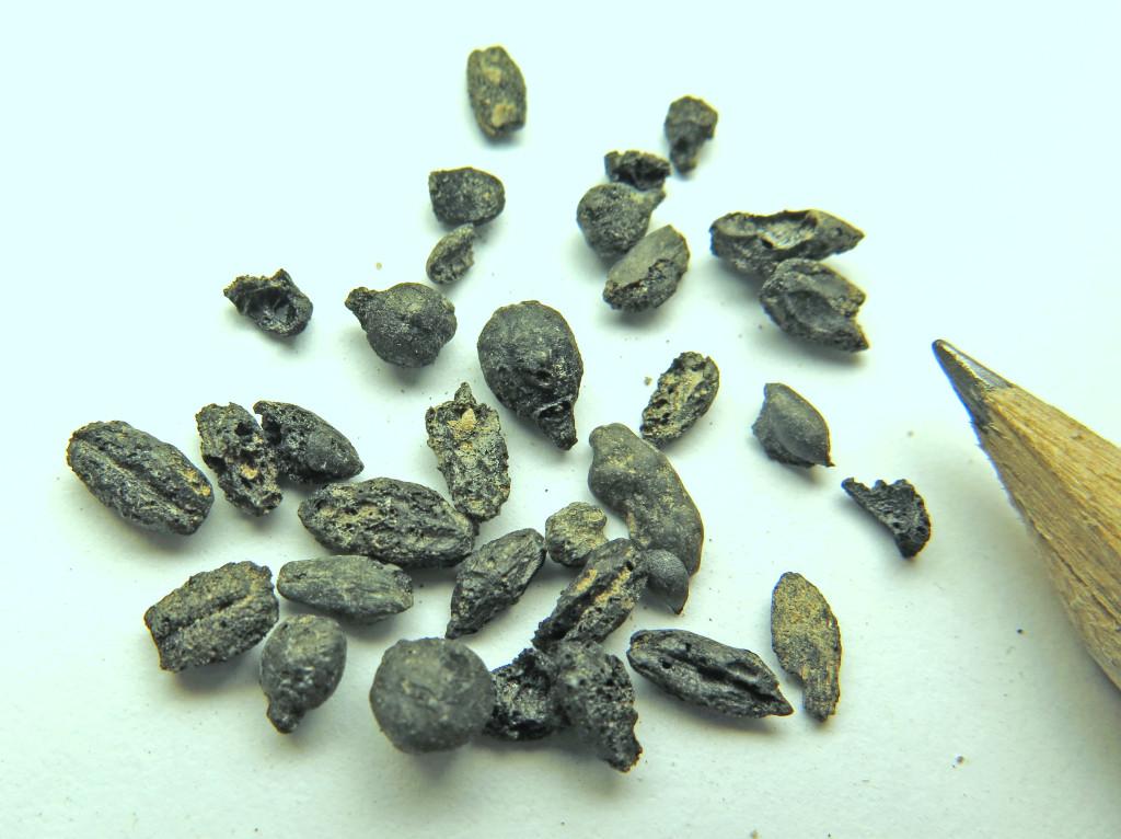 זרעי הגפנים מאתר חלוצה - צילום: פרופסור גיא בר-עוז