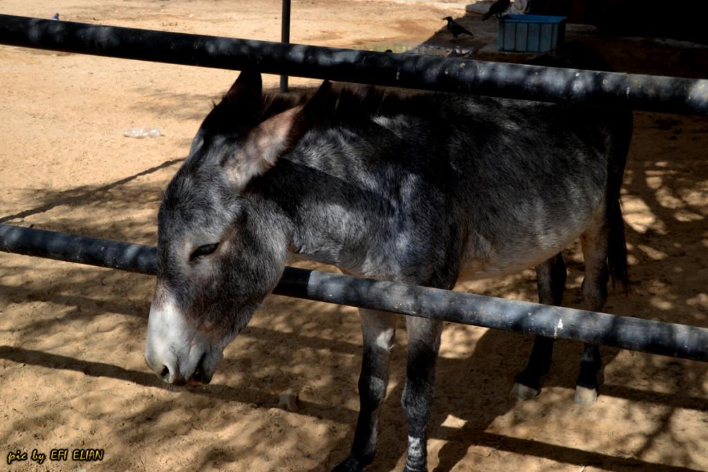 חמור ידידותי המתגורר בגן החיות בבאר שבע - צילום: אפי אליאן