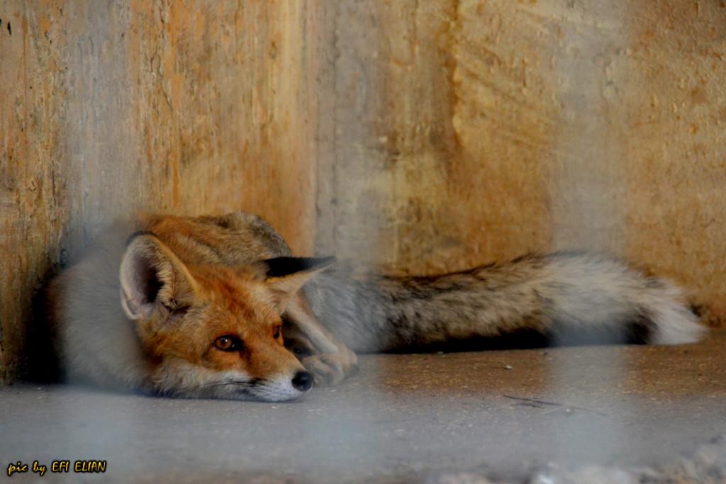 פנק- השועל הקטן ביותר במשפחת הכלביים - צילום: אפי אליאן