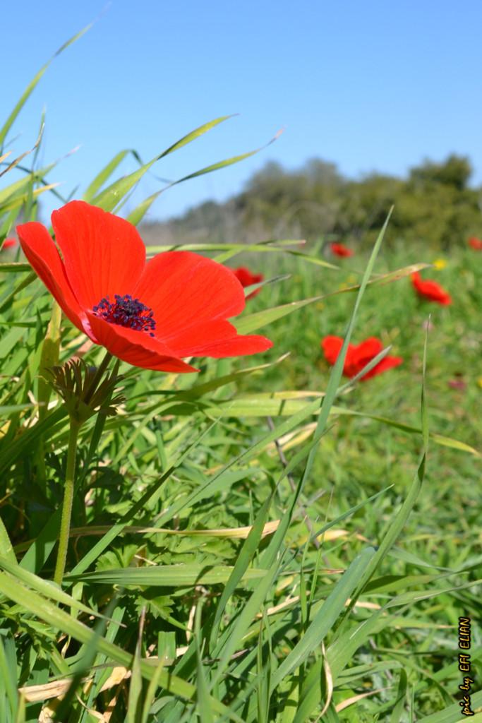 פריחה אדומה בנחל קטלב - צילום: אפי אליאן