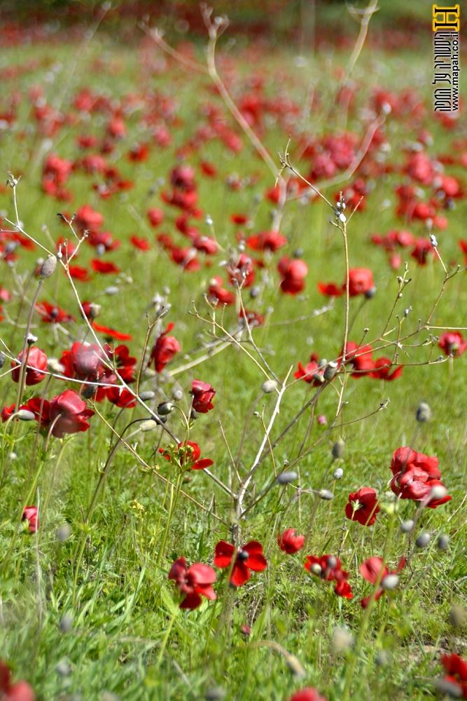 פריחה אדומה בשמורת בארי - צילום: אפי אליאן